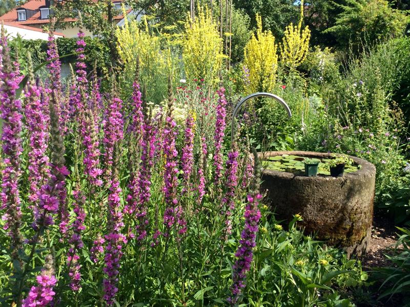 Brunnen mit Seerose und Stauden im Stadtgarten